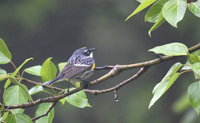Yellow-rumped Warbler. Duck Mountains, Manitoba
