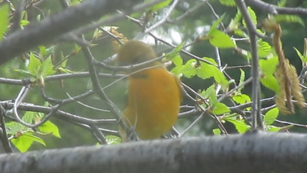 This short video clip was taken by our daughter Maureen in Shoal Lake Mb. It is of a female Baltimore Oriole attempting to gather a piece of nylon string that was securely tied around a branch to presumably use it for nest building.