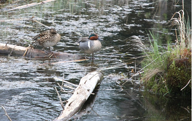 Green-winged Teal pair. Duck Mountains, Manitoba