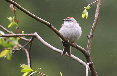 Chipping Sparrow. Duck Mountains, Manitoba