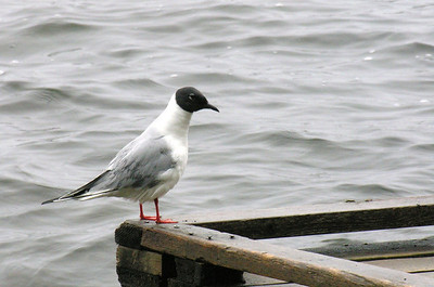 Bonaparte's Gull. (male) Duck Mountains, Manitoba