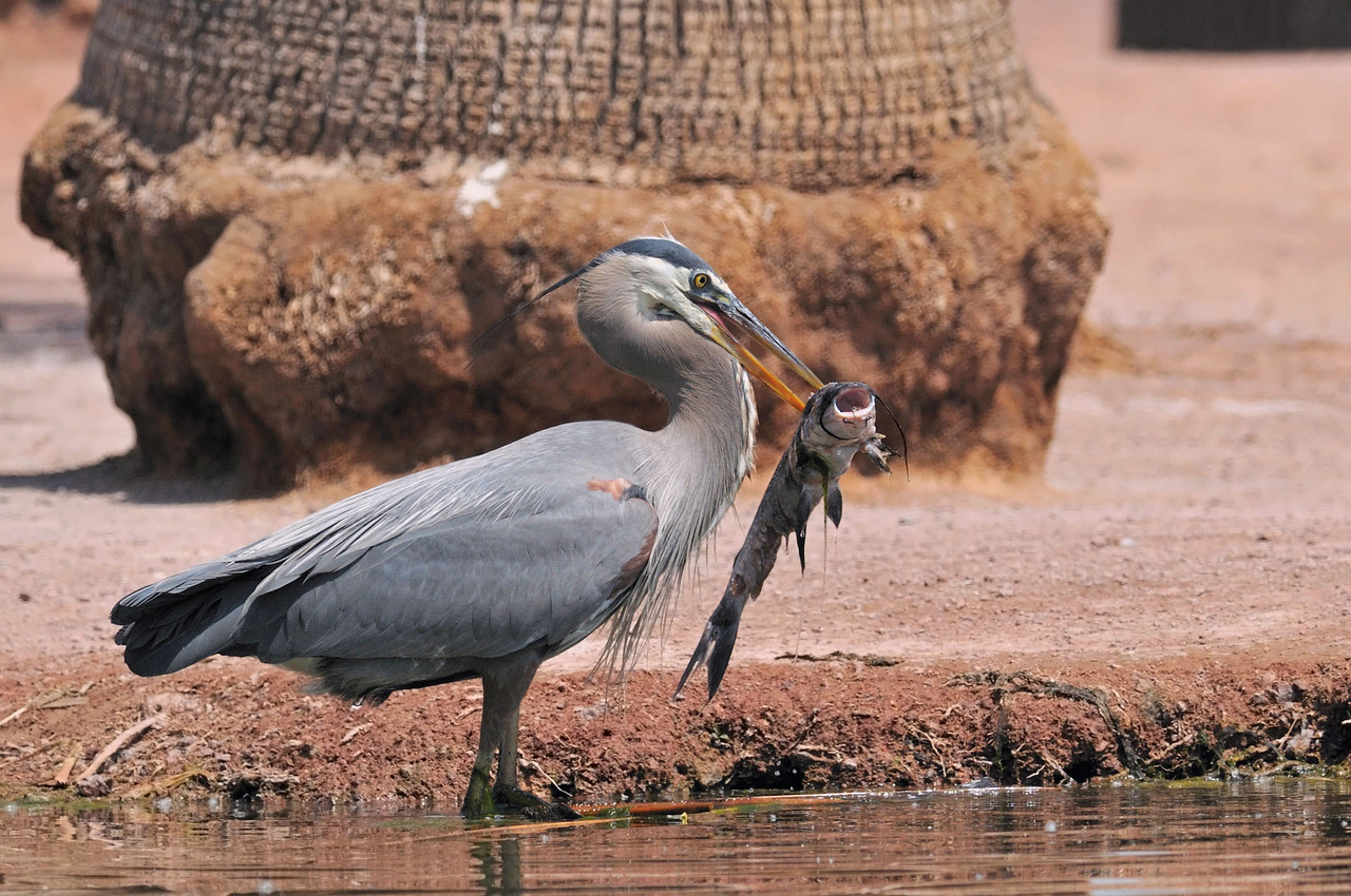 Great Blue Heron with a Big Catfish Lunch