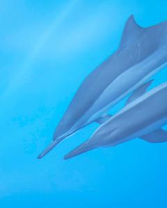 Spinner Dolphin under water