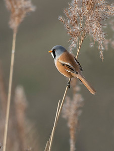 Male Bearded Tit.