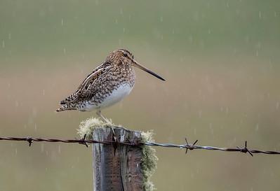 Snipe in the rain