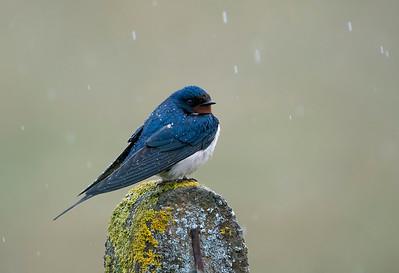 Swallow in the rain