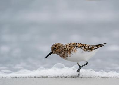 Sanderling in breeding plumage