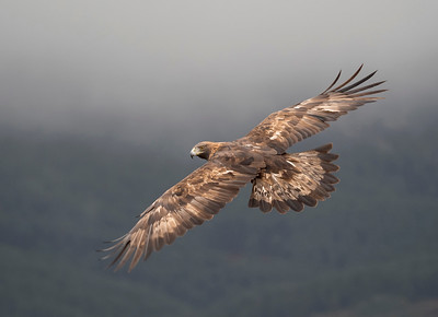 Golden Eagle, Spain.