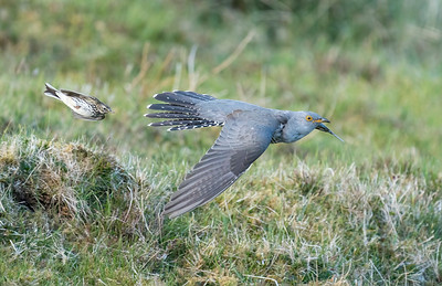 Cuckoo under attack from Meadow Pipit