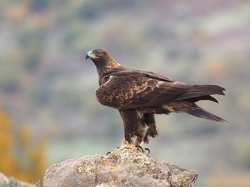 Golden Eagle, Spain.