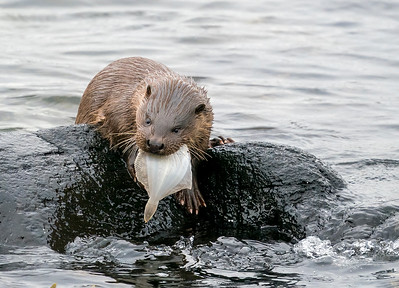 Otter with lunch.