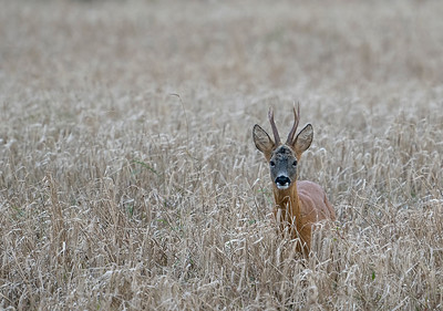 Roe Buck in spring barley.