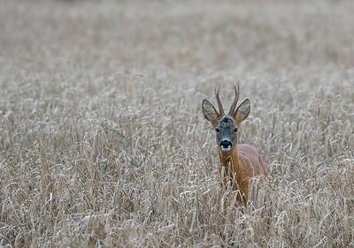 Roe Buck in spring barley.