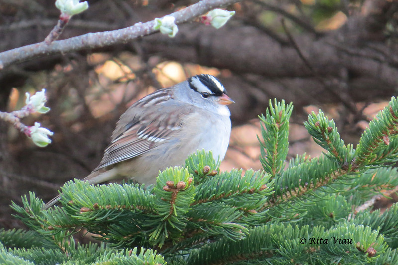 White-crowned Sparrow - May 20, 2013 - River Bourgeois, Cape Breton, NS