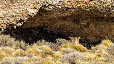 A Male Puma Watches from a Cave Where He is Napping