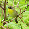 Common Yellowthroat - June 9, 2013 - Hartlen Point, Eastern Passage, NS