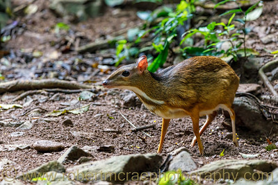 Chevrotain (Mouse Deer)