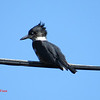 Belted Kingfisher - September 21, 2013 - Hirtle's Beach, Lunenburg Co, NS