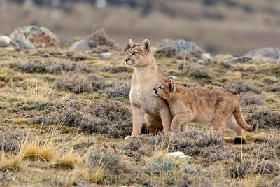 Puma Female and Cub