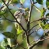 Blue-headed Vireo - September 6, 2013 - River Bourgeois, Cape Breton, NS