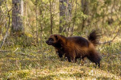 Wolverine in forest near Lieksa, Finland