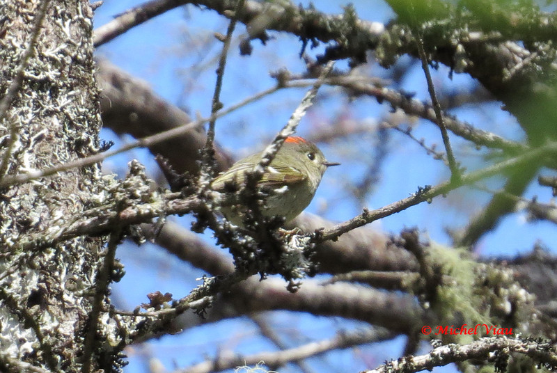 Ruby-crowned Kinglet - May 19, 2013 - River Bourgeois, Cape Breton, NS (photo Michel Viau)