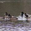 Scaup - December 1, 2013 - Bissett Lake, Cole Harbour, NS