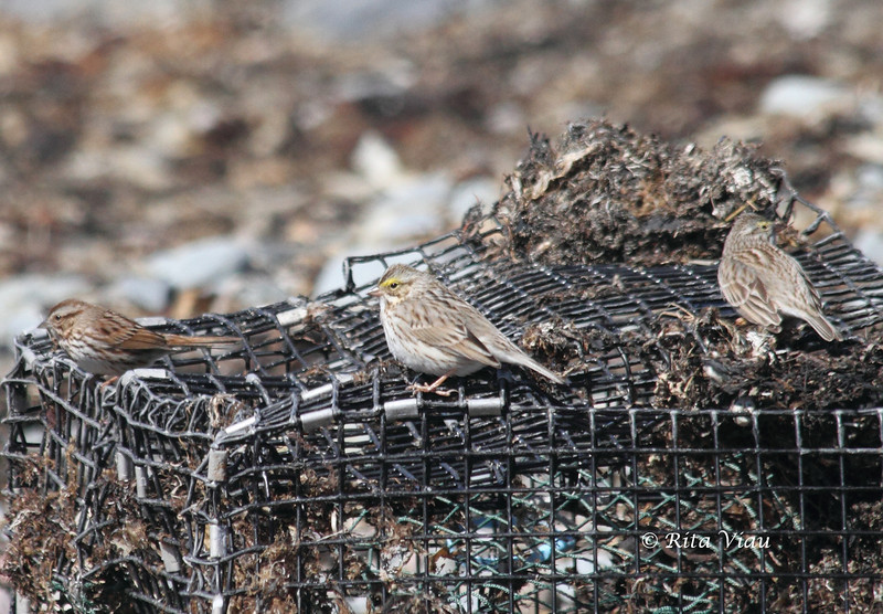 """Song Sparrow and Savannah Sparrows """"Ispwich"""" - March 31, 2012 - Hartlen Point, Eastern Passage, NS"""