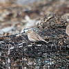 "Song Sparrow and Savannah Sparrows ""Ispwich"" - March 31, 2012 - Hartlen Point, Eastern Passage, NS"