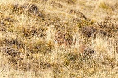 Puma in the Grass