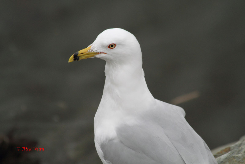 Ring-billed Gull - March 4, 2012 - Red Bridge Pond, Dartmouth, NS