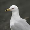 Ring-billed Gull - March 4, 2012 - Red Bridge Pond, Dartmouth, NS