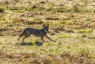 Running Coyote