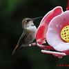 Rufous Hummingbird - Lr Sackville, NS - Sept 22, 2012