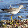 Lesser Yellowlegs - September 22, 2013 - Hartlen Point, Eastern Passage, NS