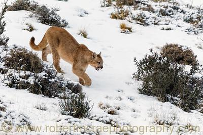 A Ten Month Puma Cub in the Snow