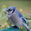 Bluejay -January 1, 2012 - Lr. Sackville,NS
