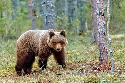 Brown Bear in forest near Lieksa, Finland