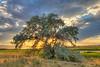 The Tree at Ninepipes