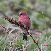 White-winged Crossbill - November 10, 2012 - River Bourgeois, Cape Breton, NS