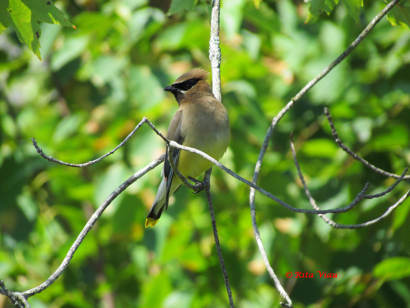 Cedar Waxwing - August 9, 2012 - Point Pleasant Park, Halifax, NS