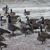 Barnacle Goose with Canada Geese - Tidal Bore Road, Onslow, NS