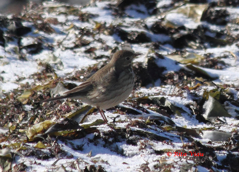 American Pipit - January 22, 2012 - Hartlen Point, Eastern Passage, NS