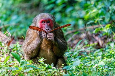 Stub-Tailed Macaque