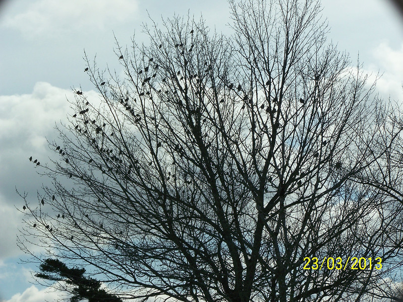 Flock of Waxwings - March 23, 2013 - Lr. Sackville, NS (Photo Anita  Pouliot)