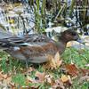 Eurasian Wigeon - November 6, 2013 - Halifax Public Gardens