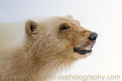 Polar Bear emerges from the fog.
