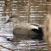 Gadwall - November 10, 2013 - Red Bridge Pond, Dartmouth, NS