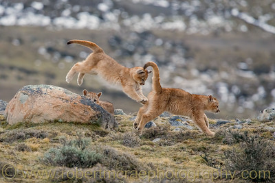 Three Puma Cubs Play