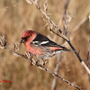 White-winged Crossbill - November 10, 2012 - River Bourgeois, Cape Breton Island, NS